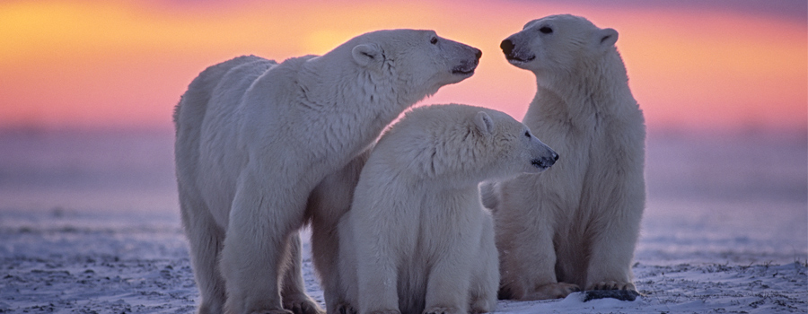 Skating on thin ice: Climate change could see polar bears extinct by 2100 5