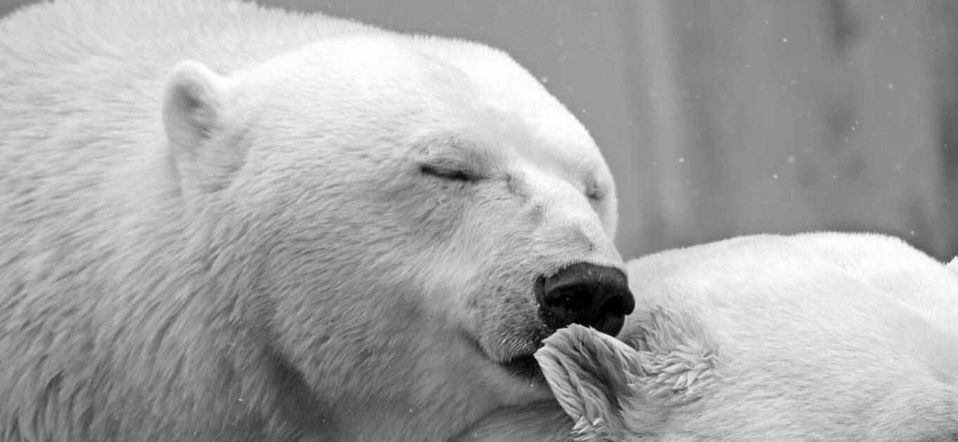 Massive Victory For Polar Bears As U.S. Court Of Appeals Says No To Arctic Oil Drilling 1