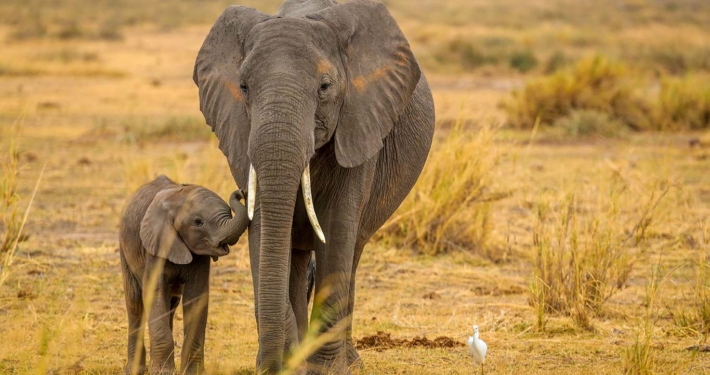 Breakthrough For African Elephant Conservation As Two Distinct Species Are Recognized 1