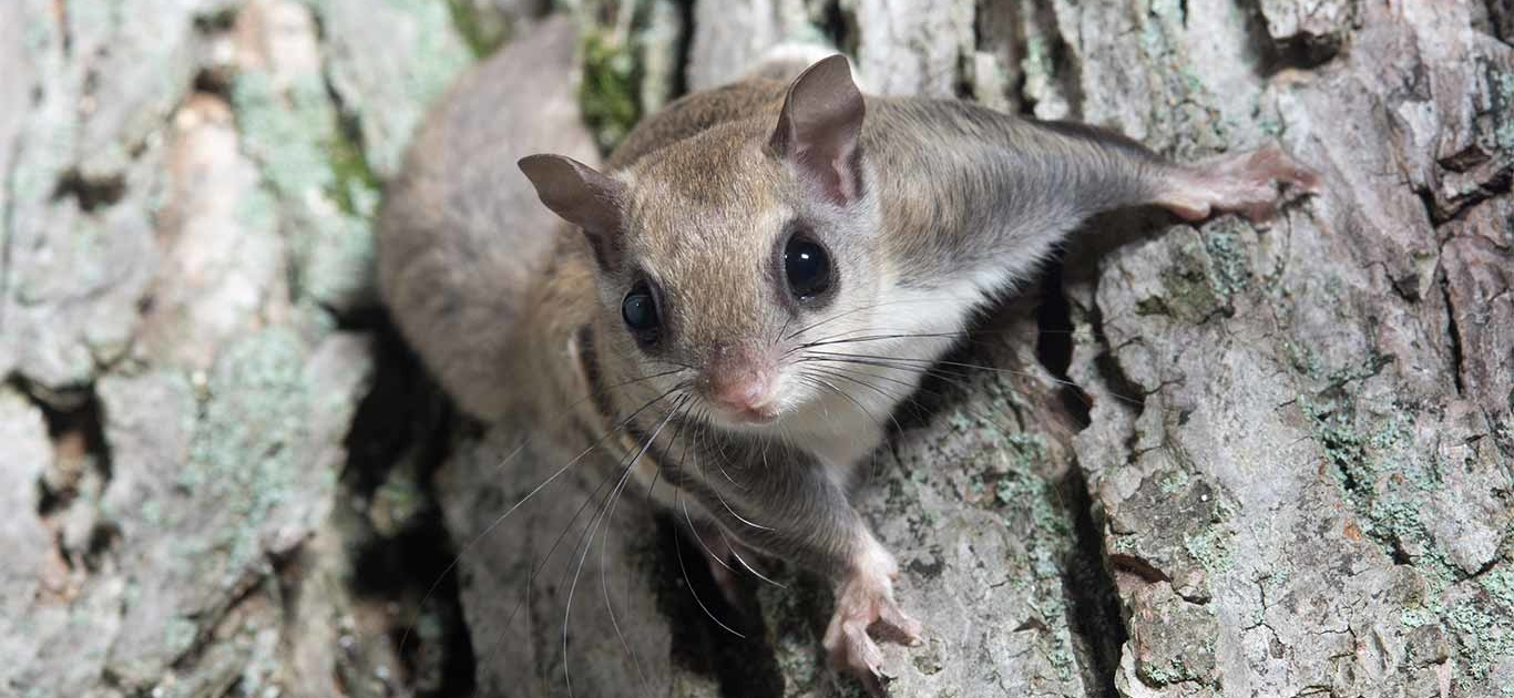 Florida's Flying Squirrel Smuggling Operation Finally Grounded 1