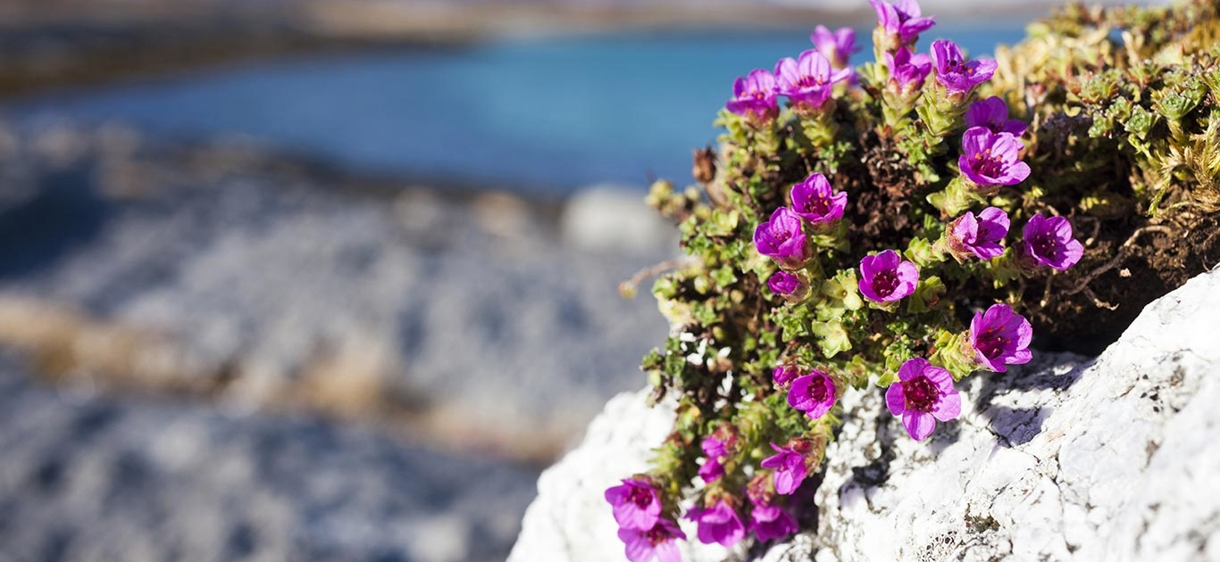 The Rapid Disappearance Of Glaciers Threatens Alpine Flowers With Extinction, New Research Finds 1