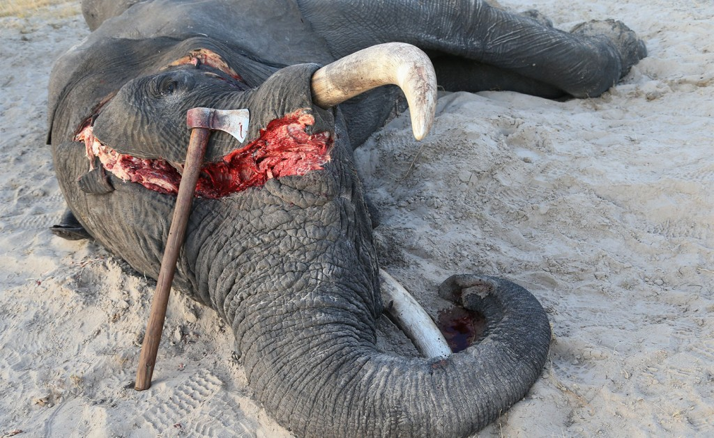 921cc2a06 UK plans to ban ivory trade to end  shame  of elephant poaching ...