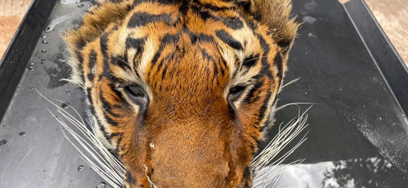 Decapitated Tiger Head And Big Cat Body Parts Found During Raid At Private Thailand Zoo 1