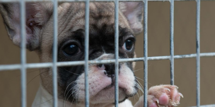 Pet shop sales ban could help to end the misery of the illegal puppy trade