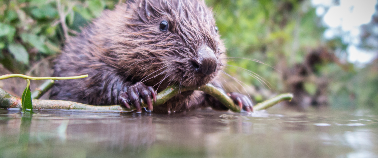 Britain Releases Beavers Back Into Its Water Systems In A Bid To Save Ecosystems And Help People 1