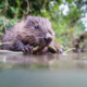 Britain Releases Beavers Back Into Its Water Systems In A Bid To Save Ecosystems And Help People 5