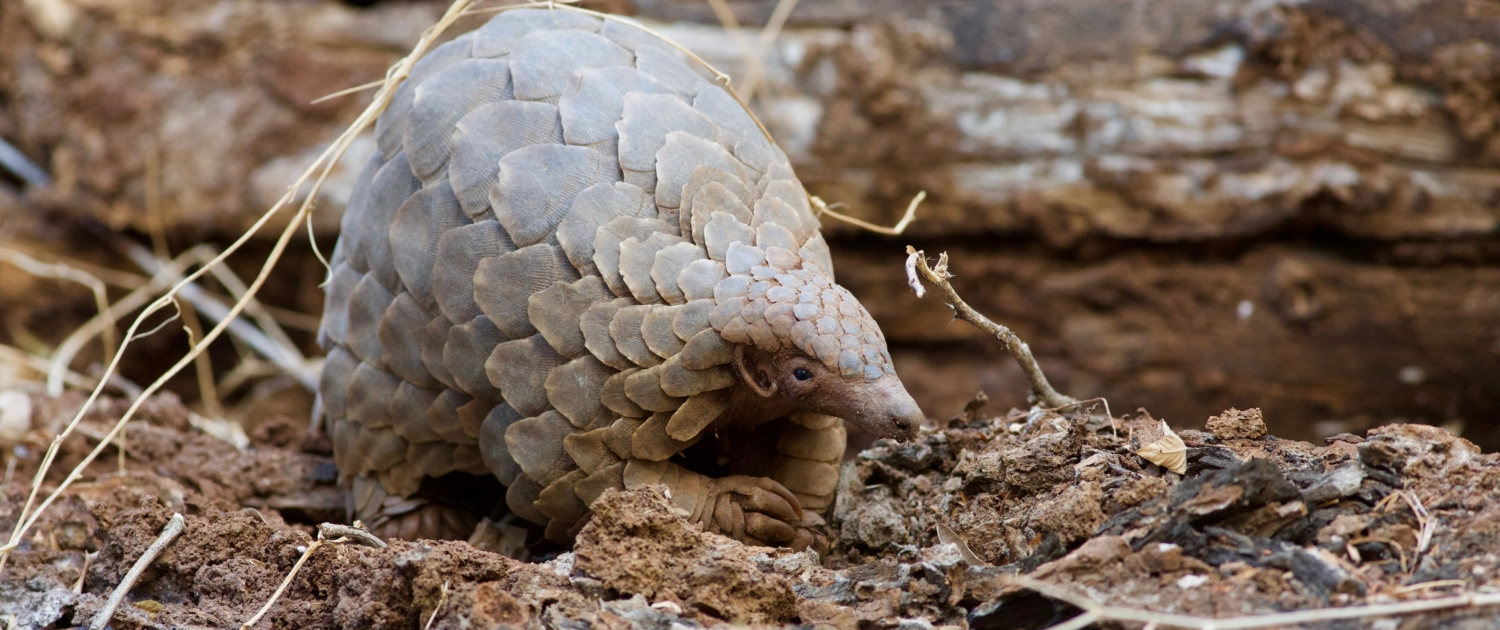 Today is World Pangolin Day – Save The Most Threatened Mammal On Earth 1