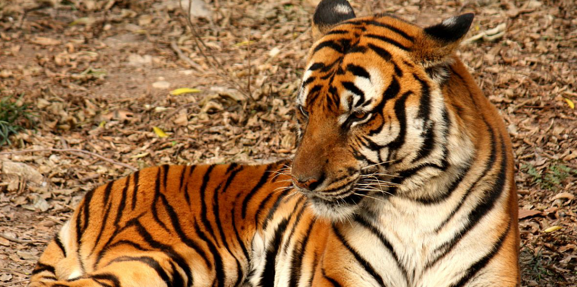 New knowledge about tigers could help to protect them 1