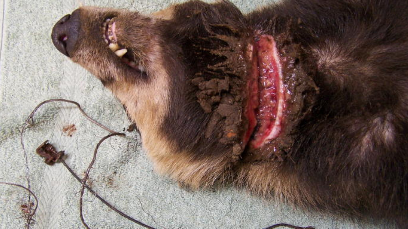 Barbarians want to keep snaring helpless animals. Sometimes these animals GNAW OFF THEIR LIMBS! 2